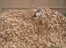 This Siberian Husky is Having Fun!