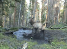 Adorable Baby Elk Playing in a Puddle!