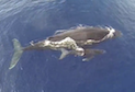Humpback Whales in Maui From a Drone